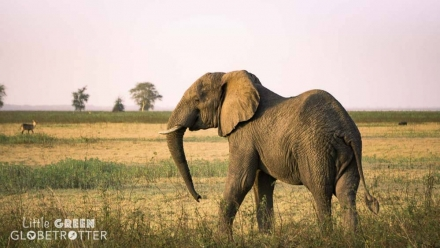 An African Elephant at dusk in Gorongosa National Park, Mozambique