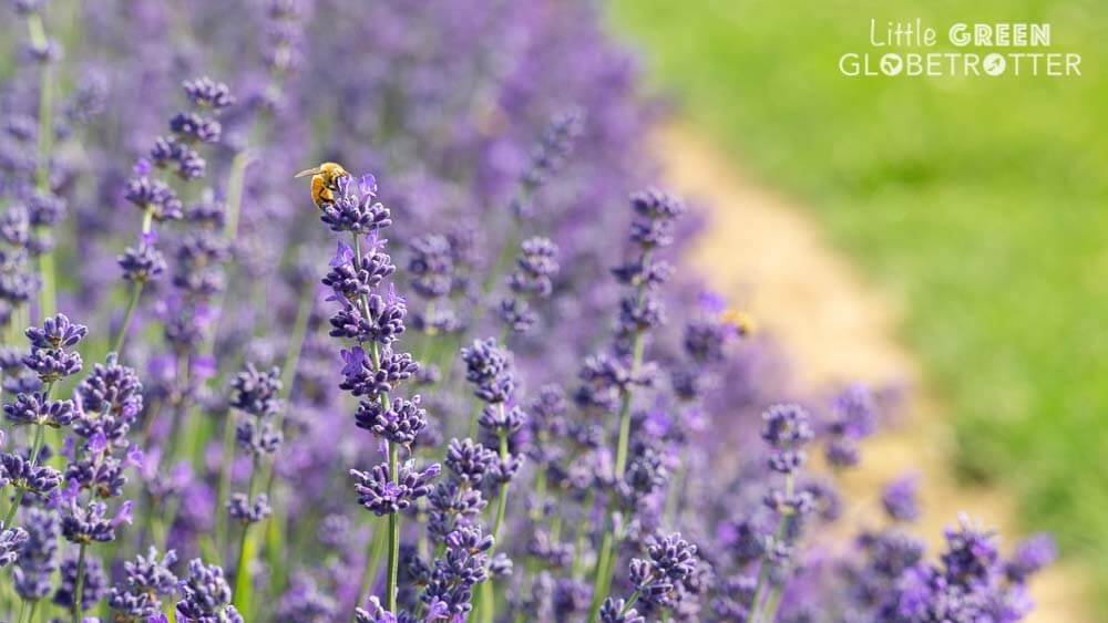 A bee feeding on lavender. Protecting species like bees is of great importance to eco travellers.