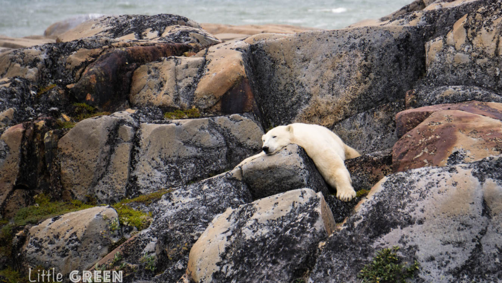 Polar bear lies sleeping on a rock. Churchill travel information includes the best time to see polar bears.